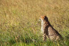 Cheetah in Africa. A cheetah in the grasslands in Kenya, Africa Royalty Free Stock Image