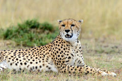 Cheetah. Africa, Kenya Stock Photo