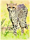 Cheetah royalty free stock photos