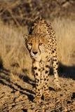 Cheetah in the bush, namibia Royalty Free Stock Image