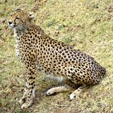 Cheetah in African bush royalty free stock images