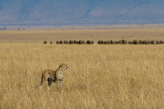 Cheetah on African plains. Landscape view of Cheetah on golden grassland of Masai Mara, with herd of wildebeest migrating in background Stock Photo