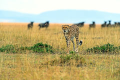 Cheetah in the African savanna Royalty Free Stock Images