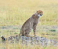 Cheetah in the African savanna Royalty Free Stock Photo