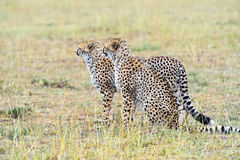 Cheetah in the African savanna Stock Image