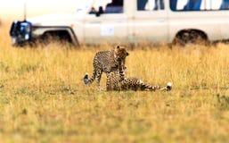 Cheetah in the African savanna Stock Photography