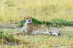 Cheetah in the African savanna Royalty Free Stock Photography