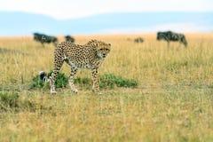 Cheetah in the African savanna Stock Photo