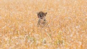 Cheetah in african savannah, at Masai Mara , Kenia royalty free stock photo