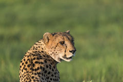 Cheetah in the afternoon sun. A cheetah enjoying the afternoon sun in the Okavango Delta (Botswana Royalty Free Stock Photography