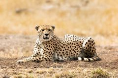 Cheetah in afternoon sunlight Royalty Free Stock Images