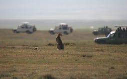 Cheetah against Safari. Female Cheetah with a cub watching Safari adventure with off road cars, Ngorongoro Crater. Tanzania Royalty Free Stock Photography