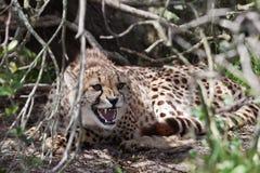Cheetah aggression Royalty Free Stock Photo
