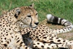 Cheetah Alert. Cheetah watching for prey and ready to run stock photos