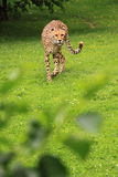 Cheetah alert reaction Stock Images