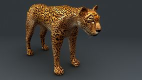 Cheetah. The cheetah, also known as the hunting leopard, is a big cat that occurs mainly in eastern and southern Africa and a few parts of Iran royalty free stock photos