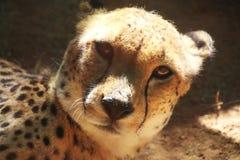 Cheetah Animal Stock Photos