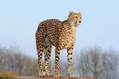 Cheetah arching back. Cheetah looking and arching back in zoo Stock Photos