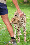 Cheetah as Pet Stock Image