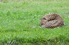 Cheetah asleep Stock Photo