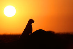 Cheetah At Sunset Stock Images