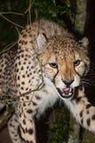 Cheetah attack Royalty Free Stock Images