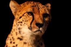 Cheetah B Stock Image