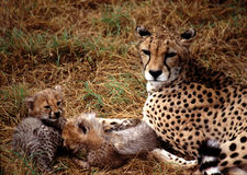Cheetah babies Stock Photo