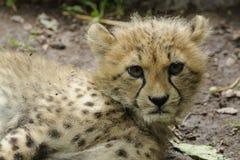 Cheetah Baby (Acinonyx jubatus)  Royalty Free Stock Image
