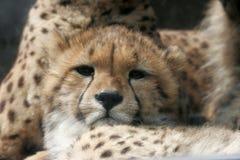 Cheetah baby close-up stock image