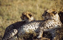 Cheetah with baby cub. Wild cheetah with baby cub, resting.  Serengeti, Tanzania, Africa.  Species:  Acinonyx jubatus Stock Photo