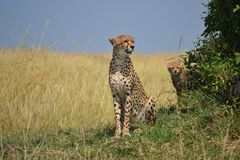 Cheetah. With baby in Masai Mara National Reserve, Kenya, Africa royalty free stock image