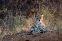 Cheetah baby at sunset lying on the African savannah, looking sadly into the distance Royalty Free Stock Photography