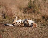 Cheetah Back Scratch. Cheetah rolling on the ground scratching her back Royalty Free Stock Photos