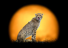 Cheetah on the background of sunset Royalty Free Stock Image