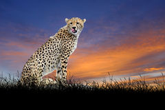 Cheetah on the background of sunset sky Royalty Free Stock Photos