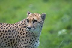 Cheetah. Beautiful African wildlife big cat portrait image. Magnificent healthy adult cheetah Acinonyx jubatus. Spotted wild animal against blurred background Royalty Free Stock Photo