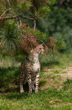 Cheetah behind branches Stock Images