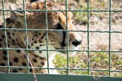 Cheetah behind wire netting Stock Photos