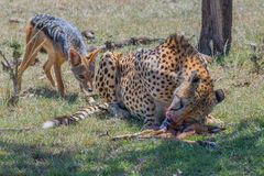 Cheetah Being Harassed by Black Backed Jackal Royalty Free Stock Photo