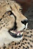 Cheetah Big Cat Stock Image