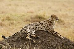 Cheetah sitting on mound, Masai Mara Royalty Free Stock Photos