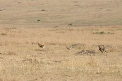 Malaika Cheetah running after Thomson Gazelle. Cheetah is a big cat also know as the hunting leopard Stock Photos
