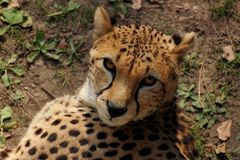 Cheetah. Big cat looking Royalty Free Stock Image