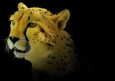 Cheetah on Black Background Royalty Free Stock Photography
