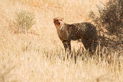 Cheetah with blood on face Stock Photos