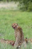 Cheetah with blood on face. Three Cheetah's had killed a baby tsessebe (antelope) and were eating it as fast as they could to prevent lions / hyenas to steal the Royalty Free Stock Photos