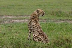Cheetah Botswana Africa savannah wild animal mammal Royalty Free Stock Photo