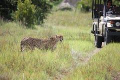 Cheetah Botswana Africa savannah wild animal picture; Stock Photo