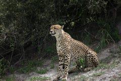 Cheetah Botswana Africa savannah wild animal picture; Stock Photos